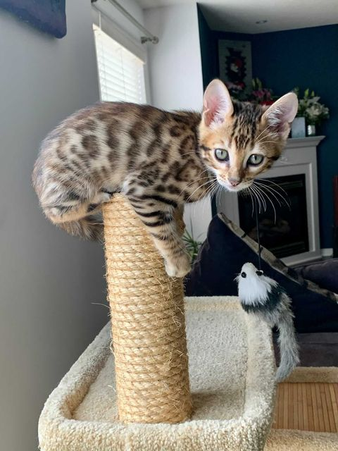 A brown spotted cat sits on top of a brown, cylindrical wool stand