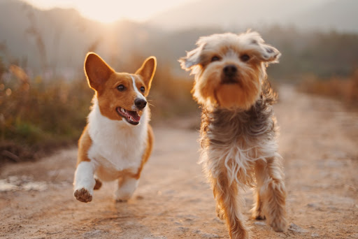 two small brown dogs running on a dirt path as the sun sets